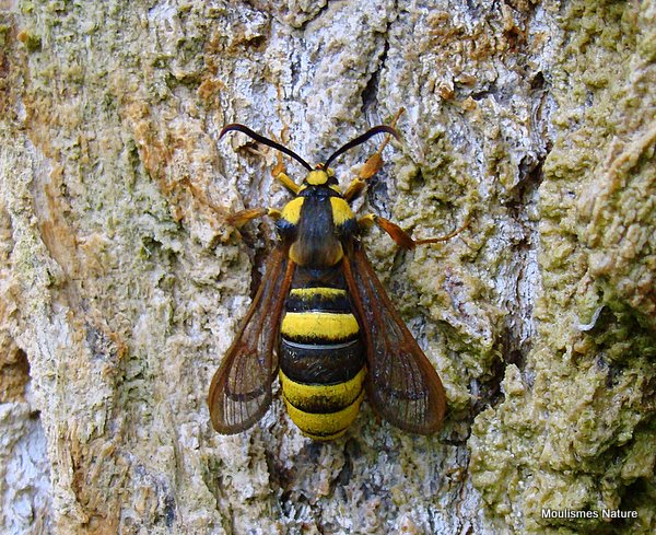 Hornet Clearwing (Sesia apiformis)