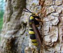 Hornet Clearwing (Sesia apiformis)