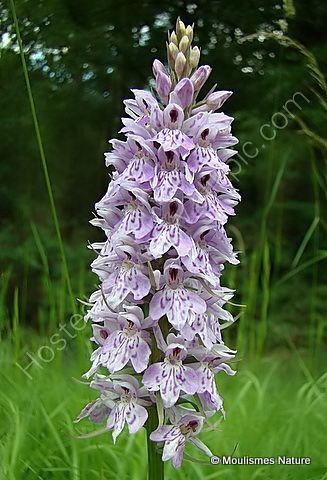 Common Spotted Orchid (Dactylorhiza fuchsii), Orchis de Fuchs