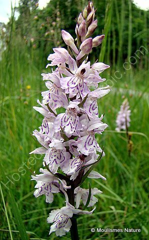 Heath Spotted Orchid (Dactylorhiza maculata maculata)