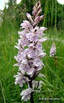Heath Spotted Orchid (probable Dactylorhiza maculata maculata), Orchis macule
