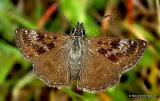 Dingy Skipper (Erynnis tages) M, Le Point de Hongrie