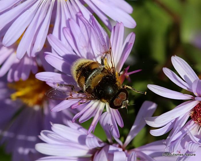 Eristalis intricarius (Furry Dronefly) M
