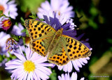Queen of Spain Fritillary (Issoria lathonia) F