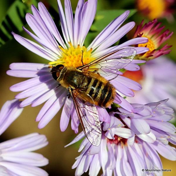 Bee-fly (Bombyliidae), villa sp.