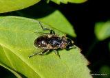 Eristalinus sepulchralis (Small Spotty-eyed Dronefly)  F