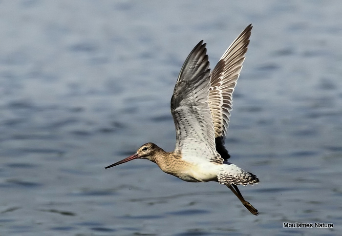 Bar-tailed Godwit (Limosa lapponica) Juv