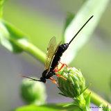Parasitic wasp (Ichneumon, Pimplinae sp.) F