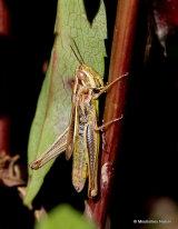 Common Straw Grasshopper (Euchorthippus declivus) F