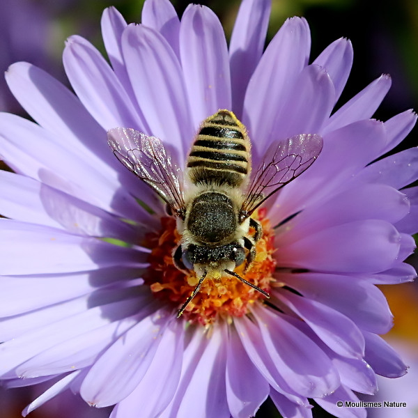 Megachile leachella/M. pilidens F