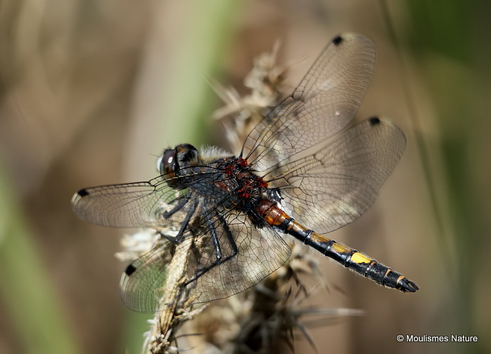 Large White-faced Darter (Leucorrhinia pectoralis) M
