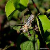 Western Saddle Bush-cricket (Ephippiger diurnus diurnus) M