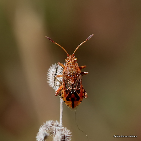 Squash Bug sp. Stictopleurus abutilon