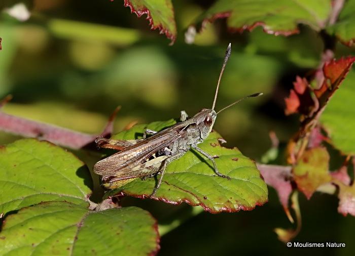 Lesser Field Grasshopper (Chorthippus m. mollis) M