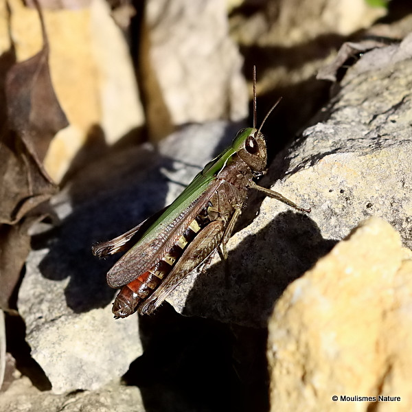 Woodland Grasshopper (Omocestus rufipes) F