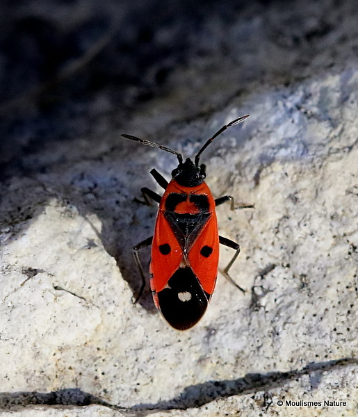 Pyrrhocoridae sp.