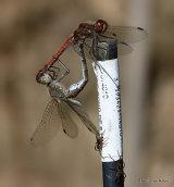 Common Darters (Sympetrum striolatum)