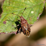 Squash Bug sp. Stictopleurus abutilon