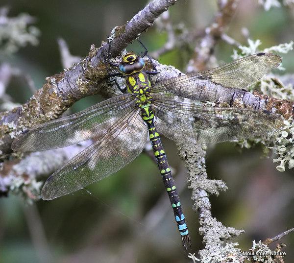 Southern Hawker (Aeshna cyanea) M, Aeschne bleue