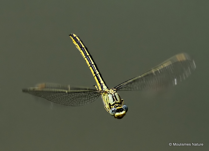 Western Clubtail (Gomphus pulchellus) F