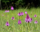 Pyramidal Orchid (Anacamptis pyramidalis)
