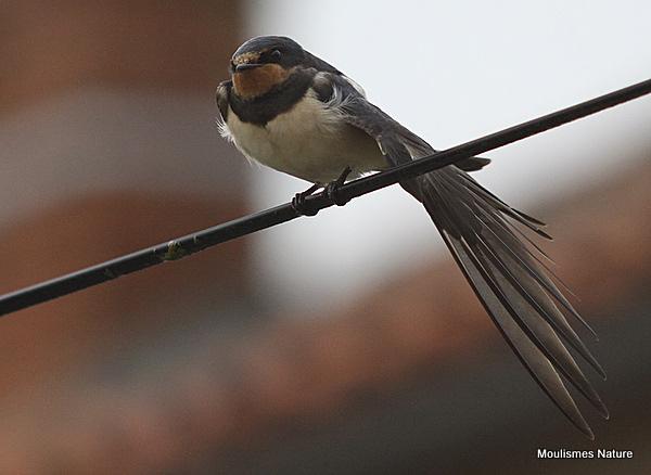 Barn Swallow (Hirundo rustica) juv, Hirondelle rustique