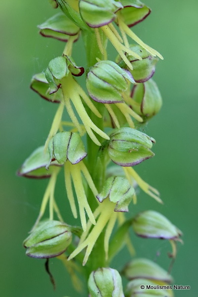 Man Orchid (Aceras anthropophorum)
