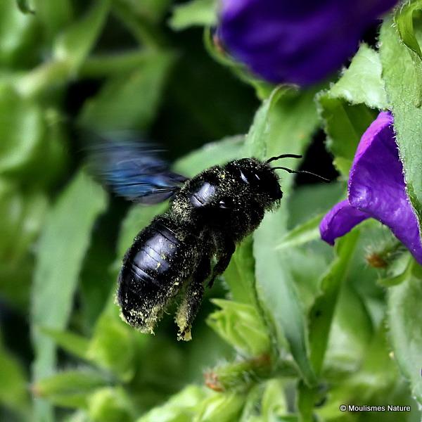 Carpenter Bee sp. (Xylocopa violacea/valga)