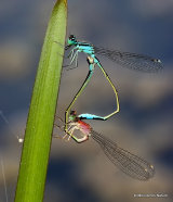 Blue-tailed Damselflies (Ischnura elegans)