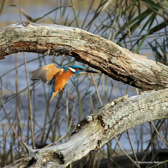 Common Kingfisher (Alcedo atthis) M