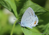 Short-tailed Blue (Everes argiades) M