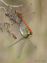 Southern Darters (Sympetrum meridionale)