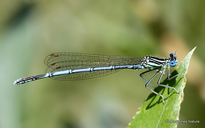 White-legged Damselfly (Platycnemis pennipes) M