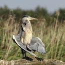 Grey Heron (Ardea cinerea) Juv, Héron cendré