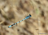 Common Blue Damselfly (Enallagma cyathigerum) M