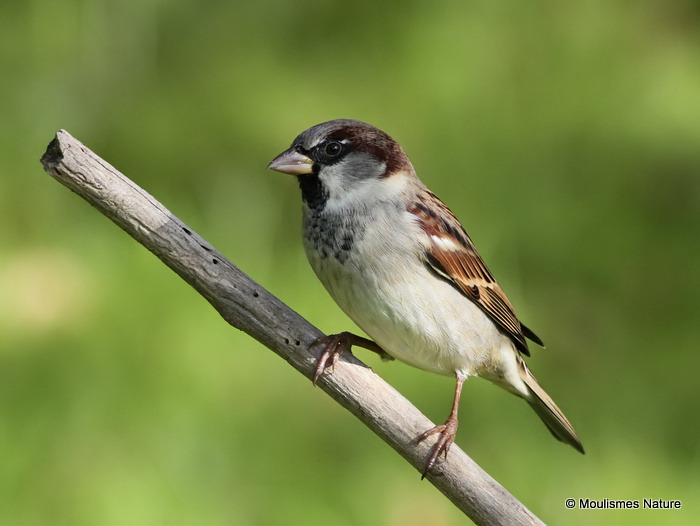 House Sparrow (Passer domesticus) M-W