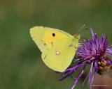 Clouded Yellow (Colias crocea), Le Souci