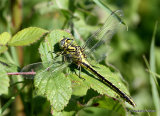 Yellow Clubtail (Gomphus simillimus) F