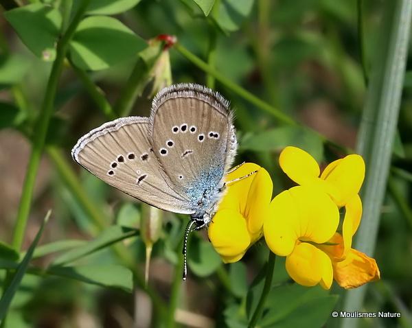 Mazarine Blue (Cyaniris semiargus) F