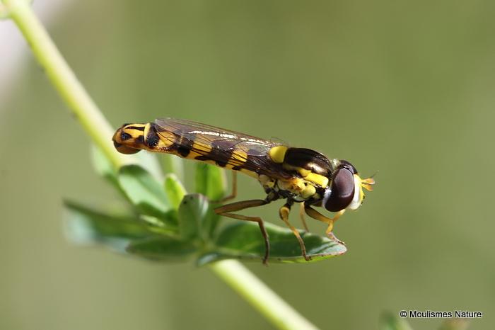 Sphaerophoria scripta (Long Hoverfly) M