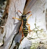 Paper wasp (Polistes) sp.