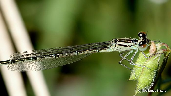 Goblet-marked Damselfly (Erythromma lindenii) F-Imm