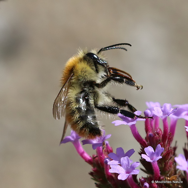 Carder-bee (Bombus) sp.