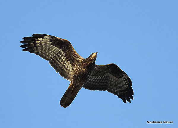 European Honey Buzzard (Pernis apivorus) Juv