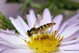Sphaerophoria scripta (Long Hoverfly) F