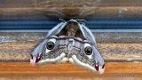 Emperor Moth (Saturnia pavonia) F