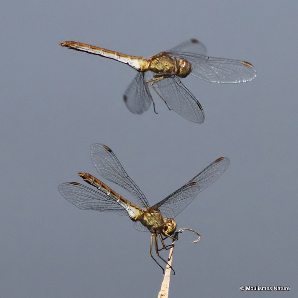 Southern Darters (Sympetrum meridionale) F