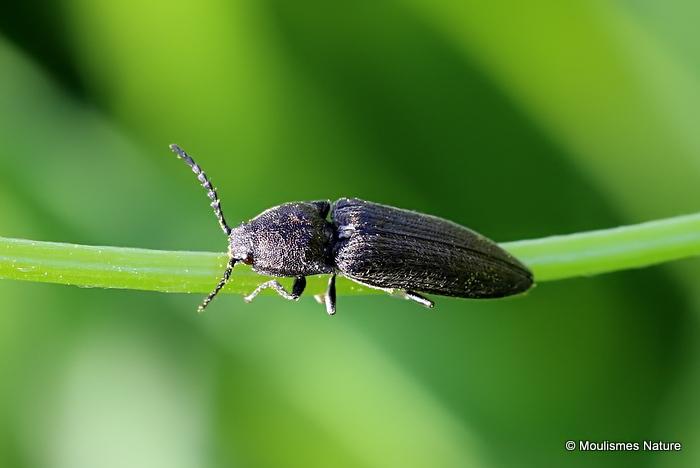 Click Beetle sp. (?)Aplotarsus incanus