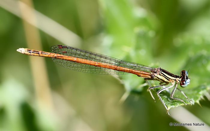 Orange White-legged Damselfly (Platycnemis acutipennis) M