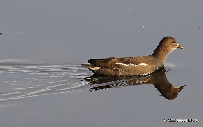 Common Moorhen (Gallinula chloropus) Juv
